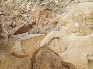 The Cambrian Explosion still falsifies evolution, despite Science of the Gaps excuses. Here is a picture of trilobites.