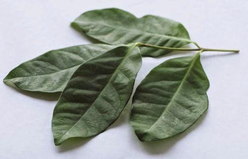 obat tradisional alami kolestero dan asam urat tinggi daun salam
