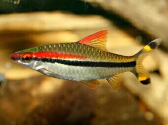 Ikan Red Line Torpedo Barbs