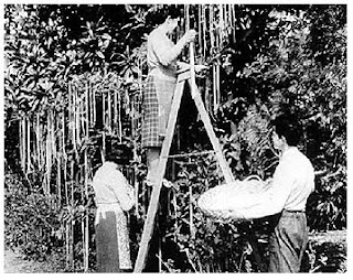 Black and white picture of three people standing before a tree with spaghetti noodles hanging down. One woman is on a ladder, and a man and woman standing at the foot. He is holding a round flat basket.