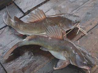 ikan baung