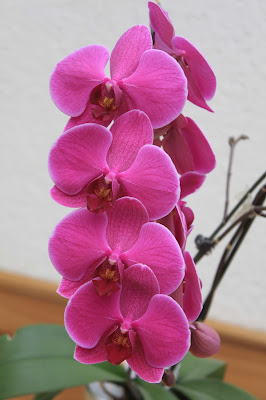 zahlreiche Blüten Orchideen