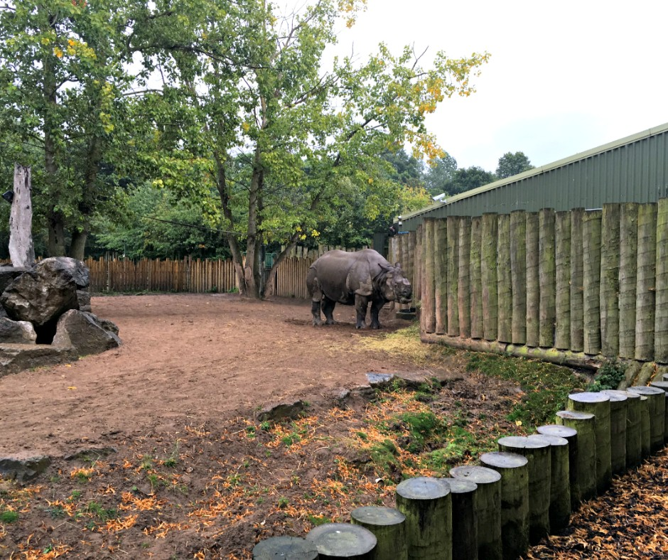 "A rhino stands next to his ""house"", a tree in the background - at Chester Zoo"