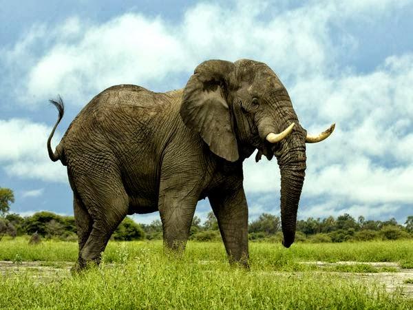 Gajah Mamalia Darat Terbesar
