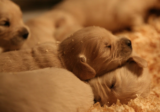 Annie x Darcy--English/American Golden puppies!