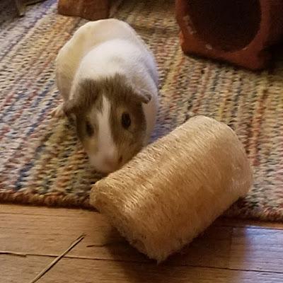 Cavy Savvy A Guinea Pig Blog