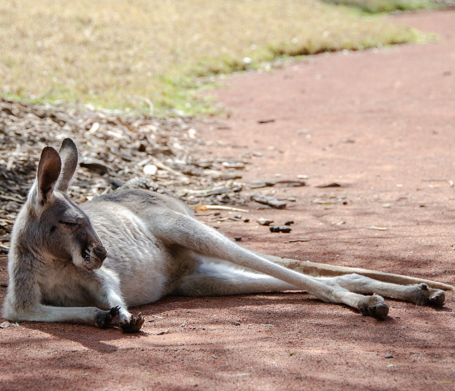 A kangaroo taking a nap.
