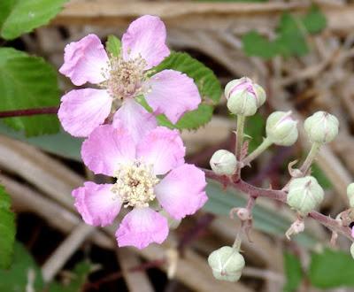 Flores rosadas de Rubus ulmifolius