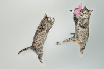 Mengenal Lebih Dekat Dengan Kucing Parsi Atau Persian