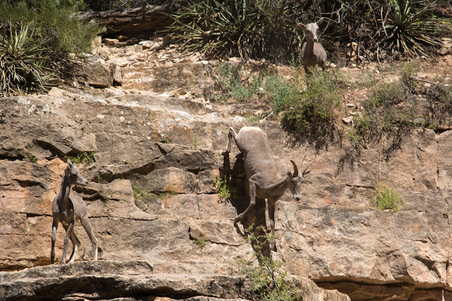 Desert Bighorn Sheep, Grand Canyon