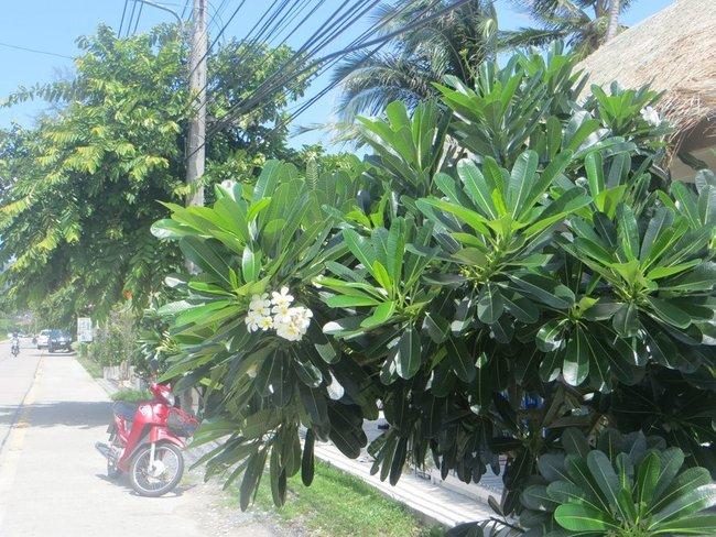 Орхидея у дороги на Самуи