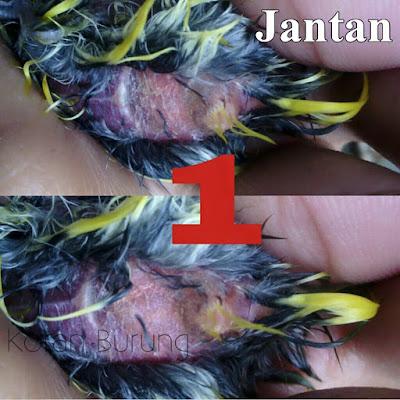 Seringkali kita salah memilih mana burung Pleci jantan dan mana burung Pleci betina Cara Paling Tepat Membedakan Burung Pleci Jantan Dan Betina Lengkap Dengan Gambar