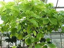 "<img src=""quina.jpg"" alt=""quina planta para mejorar los sintomas de colitis"">"