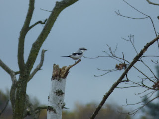 Great Grey Shrike by Thomas Banks