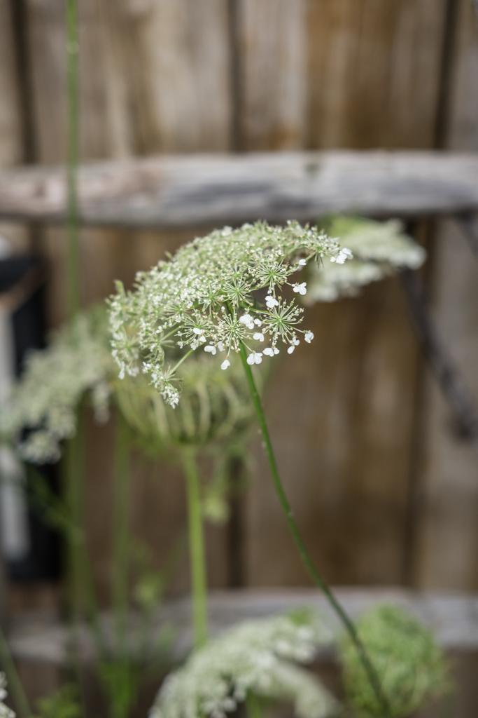 Floristik: Wilde Möhre als Vasenblume und Deko by fim.works