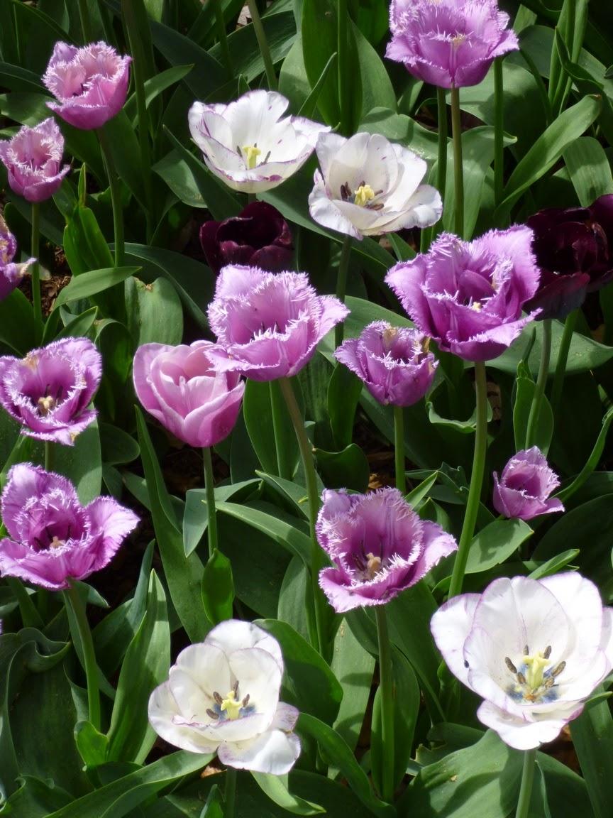 白色郁金香与紫色流苏郁金香混合了