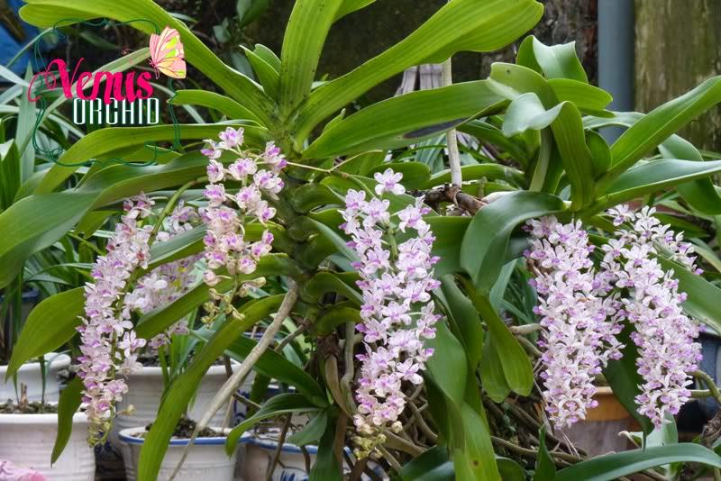 Thông thường Ngọc điểm nở hoa vào cuối mùa đông hay đầu mùa xuân và vào dịp Tết Nguyên Đán.