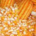 Prorrogada venda de milho em balcão aos pequenos produtores