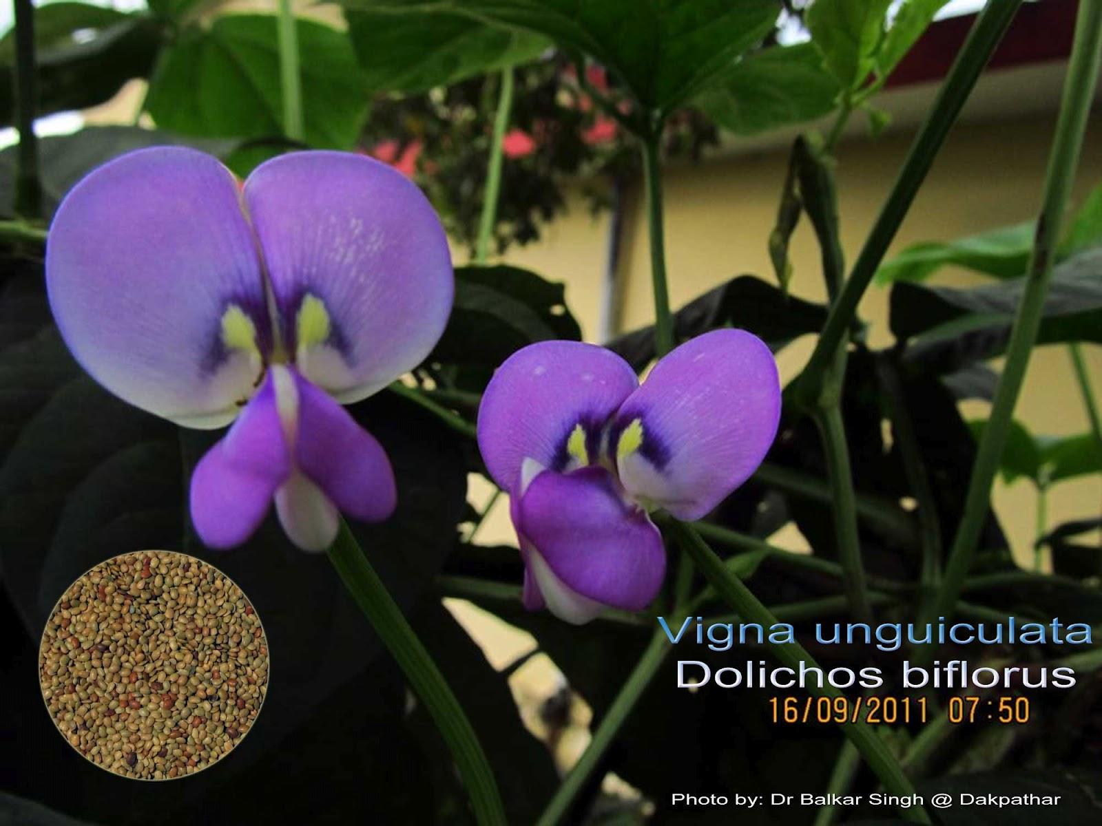 Medicinal Plants: Vigna unguiculata, Dolichos biflorus Kollu