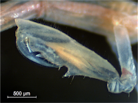 Gnathopod (claw) of the male skeleton shrimp