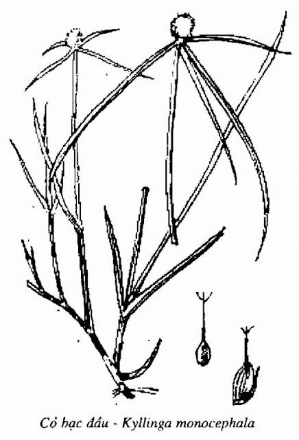 Hình vẽ Cỏ Bạc Đầu - Kyllinga monocephala - Nguyên liệu làm thuốc Đắp vết thương Rắn Rết cắn