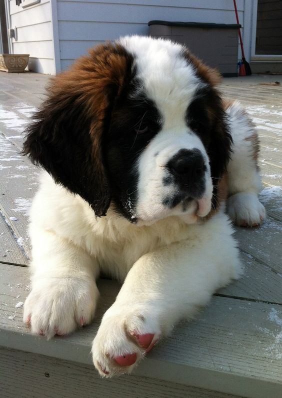 St.Bernad Cute Dog Every Humman Want To Pet