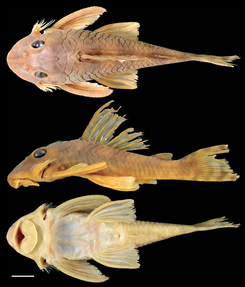 Greedo's Catfish (and more on 3 new species of Peckoltia)