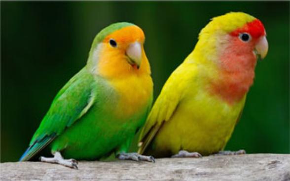 Tips Memilih Burung Lovebird yang Sempurna