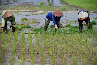 http://tipspetani.blogspot.com/2016/11/tahapan-penanaman-tanaman-padi-setelah.html