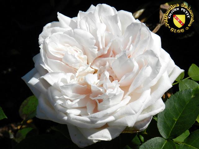 VILLERS-LES-NANCY (54) - La roseraie du Jardin botanique du Montet - Rose Marchioness of Londonderry