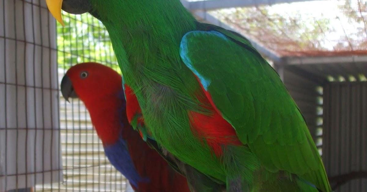 chelucci carla uccelli vivi coppie di ecletto disponibili