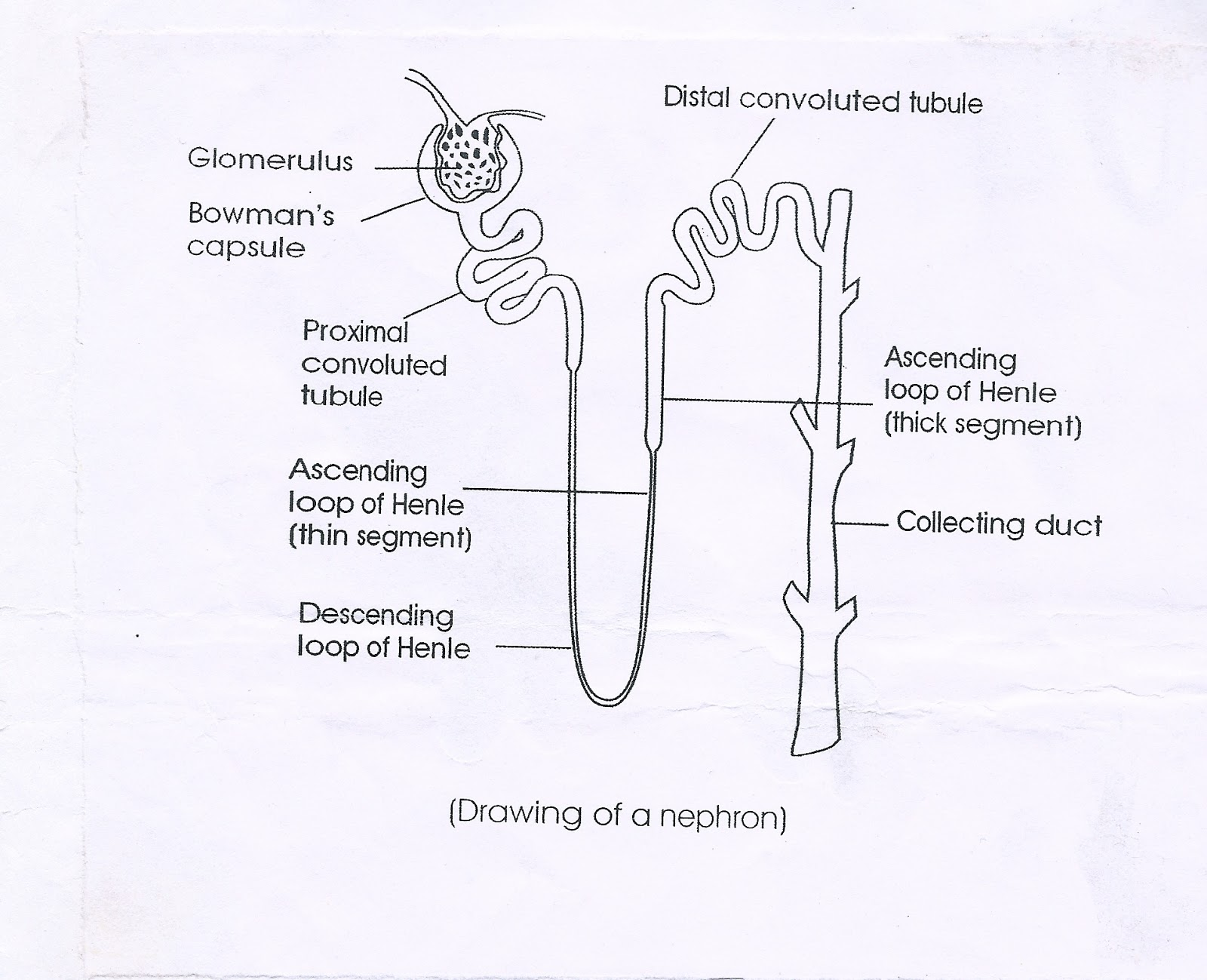 Diagram Of The Nephron In Lab Manual