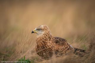 Red Kite, Milvus milvus, Autumn in Suffolk, brown , red