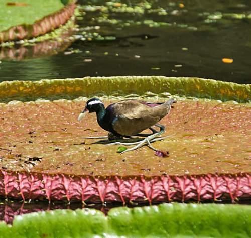 Bronze-winged jacana - Metopidius indicus