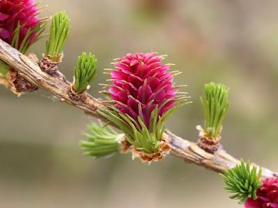 Fiore femminile Larice