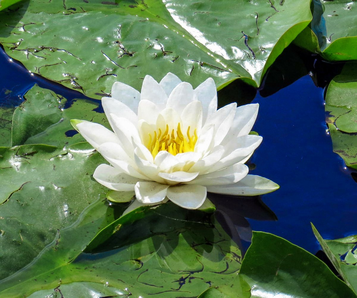 Water Lily: Regulus Star Notes: A Lost Rainy Day Somewhere In Maryland