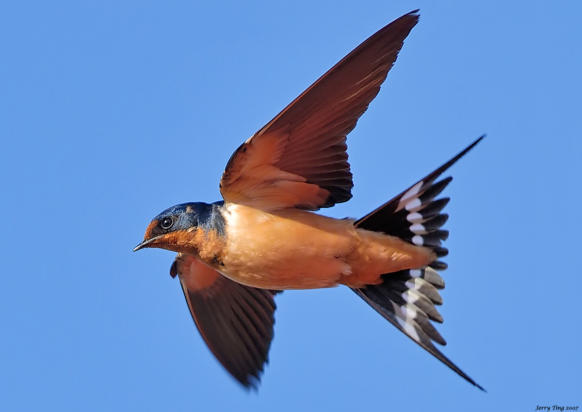 Barn Swallow Picture 106