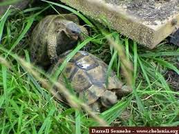 التزاوج عند السلاحف البريه والسلاحف المائيه او الترس المائيه  بالصور والفديو على ماستر زوووو