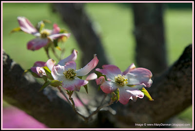 Dogwood Bloom Photo by @marydenman