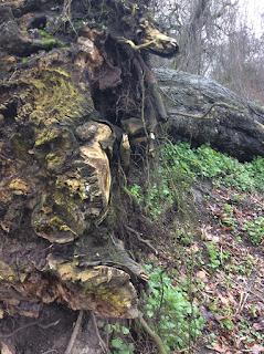 Dieser Baum fiel im Sturmtief 2014 und ist nun ein Naturdenkmal