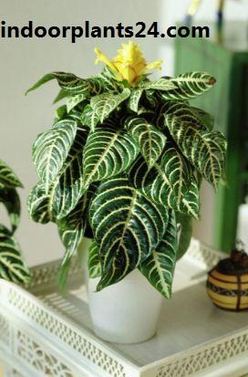 Zebra Plant - Aphelandra Squarrosa indoor plant