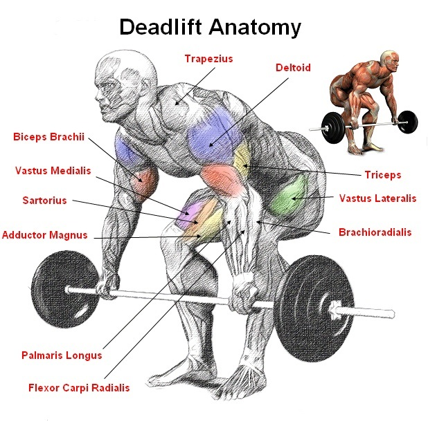"Image result for ""New Bodybuilding Study on the Benefits of 'Deadlifts'."""