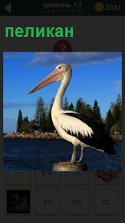 На тумбе стоит птица пеликан и высматривает добычу впереди на водоеме