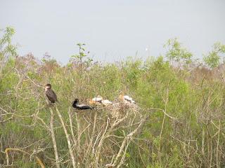 Nature Everglades Water bird babies