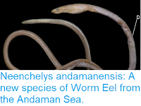 https://sciencythoughts.blogspot.com/2013/10/two-new-species-of-siphonophore-from.html
