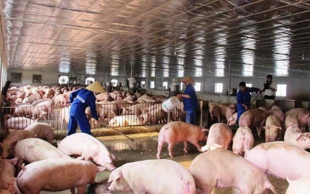 nuôi lợn xả thải gây ô nhiễm