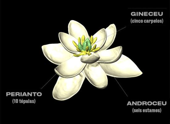 Flor mais aintiga do mundo - Detalhes