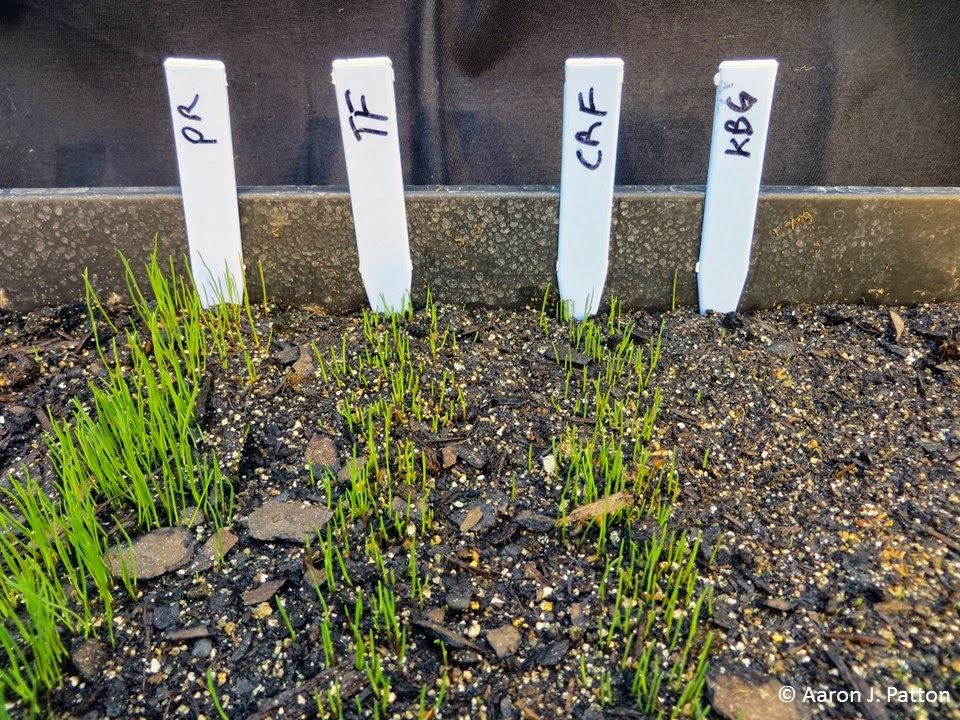 Pictured Left To Right In The Order Of Germination Are Perennial Ryegr Pr Tall Fescue Tf Creeping Red Crf And Kentucky Bluegr Kbg