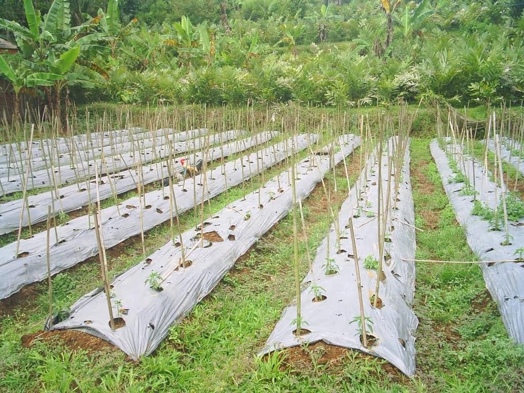 Pengertian dan peranan mulsa pada pertumbuhan tanaman