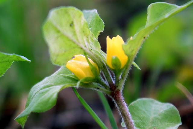 ナガエコナスビの花